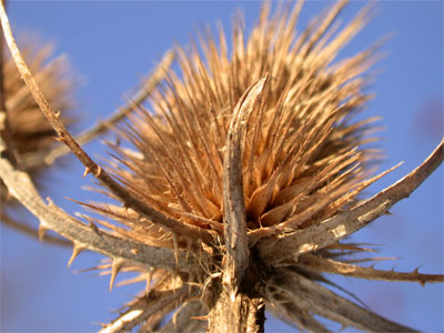 Thistles